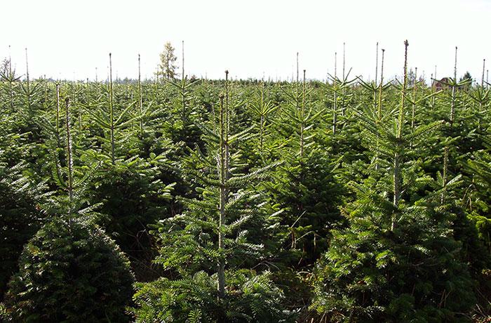 Stromeček si můžete koupit v areálu v Bělském lese, u hájenek v Bobrovníkách a Plesné a nově také na výstavišti Černá louka v centru Ostravy.